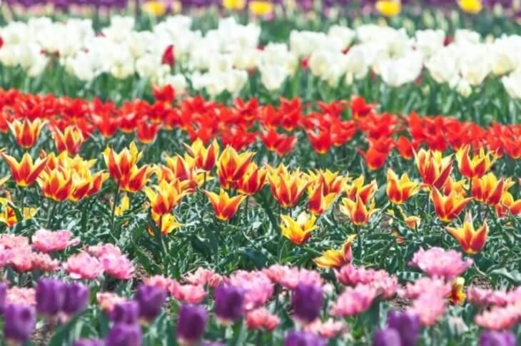 ブログ 50記事:キレイに整列された色とりどりのチューリップ