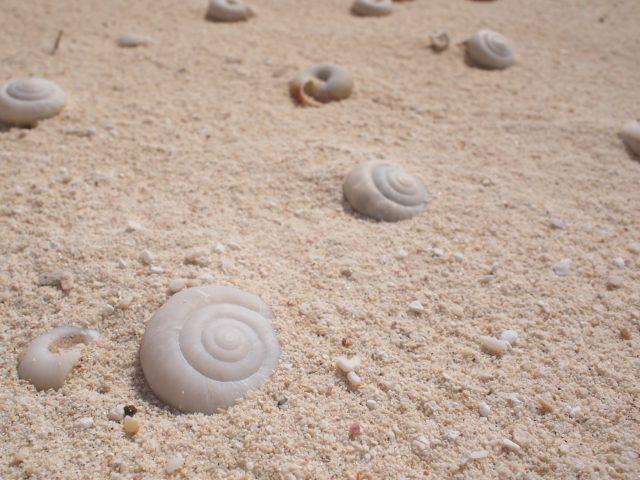 カタマイマイの化石